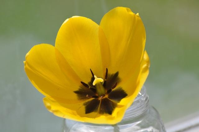 YellowTulip